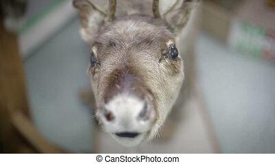 Close up Eld's Deer's nose. - deer foraging for food in the...