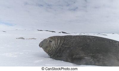 Close-up Elephant seal lying on snow. Antarctica.