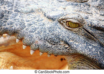 crocodile gape - close up eye crocodile gape