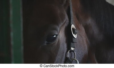 Close up eye of beautiful brown horse. View on thoroughbred horse muzzle standing in stable. Sad animal looking into camera. Slow motion.