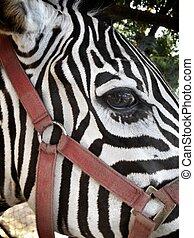 eye of the Zebra.