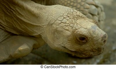 close-up. face and eye giant tortoise.