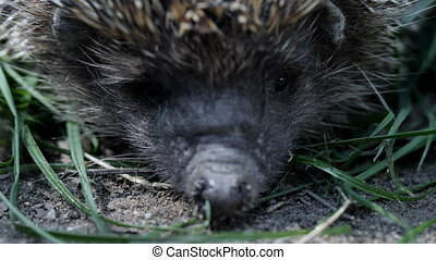 Close-up face of frowns hedgehog. Macro shot. West european...