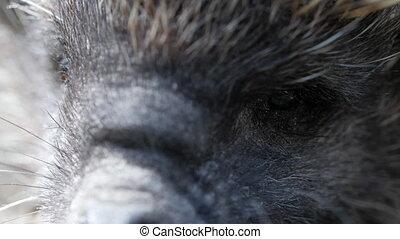 Close-up face of hedgehog. Macro shot. - Close-up face of...
