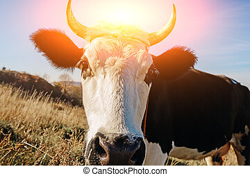 Close-up face of horned black and white cow outdoor. Cow staring and at the camera and sniffing it
