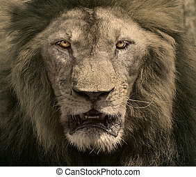close up face of male lion dangerous african safari animals...