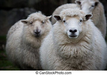 close up face of new zealand merino sheep in farm