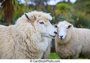 close up face of new zealand merino sheep in rural livestock...