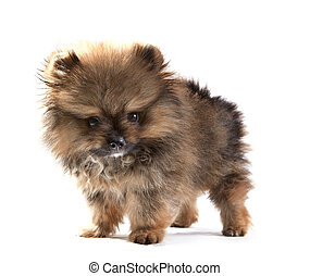 close up face of pomeranian puppy on white