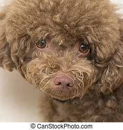 Close up  face of Poodle looking