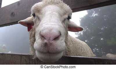 close up face of sheep