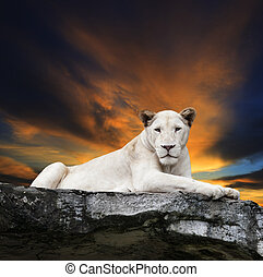 close up face of white lioness lying on rock cliff against...