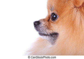 close up face pomeranian dog isolated on white background, cute pet in home