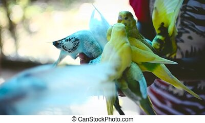 Close up feeding parrots from hand.