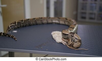 Close-up feeding python snake with mouse