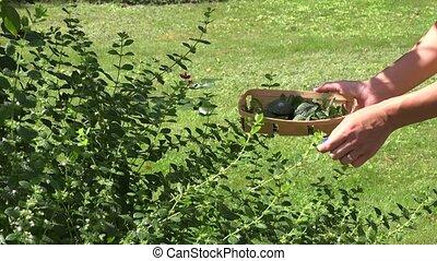 close up female hand pick green mint leaf in summer garden. 4K