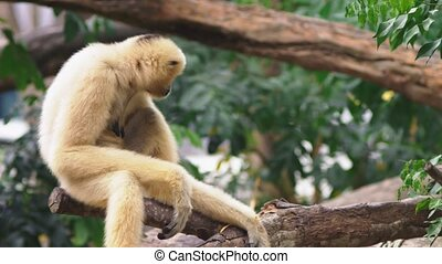 close-up. female White-cheeked gibbon. Hylobates leucogenys....