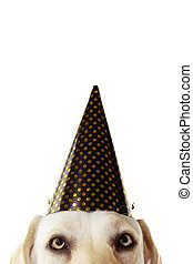 Close-up festive dog hide wearing a golden polka dot hat celebrating new year, birthday or carnival. Isolated on white background.