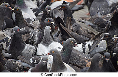 Close up flock of many pigeons on the ground