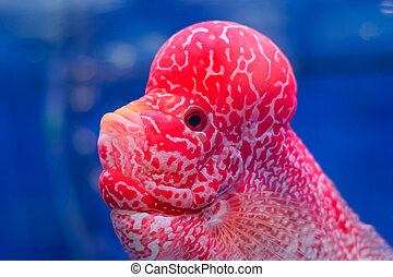 flowerhorn stock photos and images 114 flowerhorn pictures and rh canstockphoto com Jack Dempsey Fish Arowana Fish