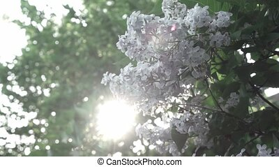Close-up flowering branch of a lilac flower on a bush. Branches move in the wind against the background of the shining sun. Full HD video, 240fps, 1080p.