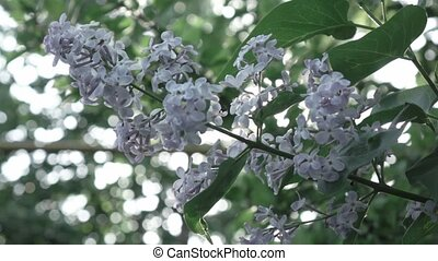 Close-up flowering branch of a lilac flower on a bush....
