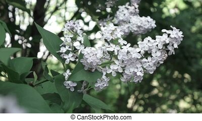 Close-up flowering branch of a lilac flower on a bush. Slow...