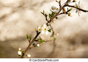 close-up flowering branches of apple trees in the sunset