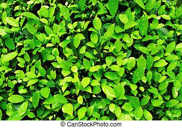 close-up, folha, primavera, imagem, verde, fresco