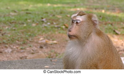 curious monkey sitting in the park - close-up footage of...