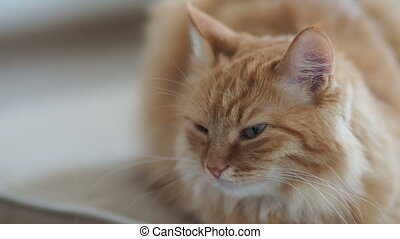 Close up footage of dozing cute ginger cat. Fluffy pet is...