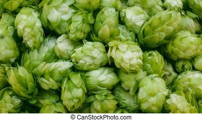 Close-up footage of fresh green hop cones. Plant for making...