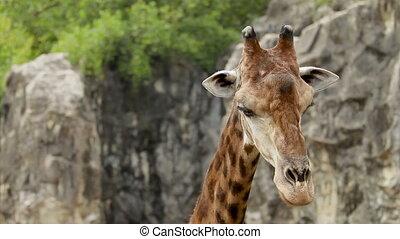 Close up footage with Giraffe (Giraffa camelopardalis). Bangkok, Thailand.