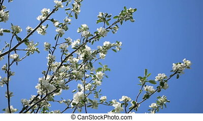 Close up for white apple flower buds on a branch. Closeup on...