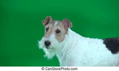 Close-up fox terrier looks away. Green screen - Good fox...