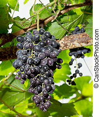 Close Up fresh grapes on the Vine in Thailand
