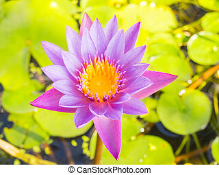 Close up full bloom lotus flower water lily