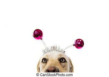CLOSE-UP FUNNY DOG PARTY. BIRTHDAY, CARNIVAL OR NEW YEAR. LABRADOR WITH A HEADBAND O DIADEM WITH PINK DISCO BALL BOPPERS LIKE A ALIEN. ISOLATED SHOT AGAINST WHITE BACKGROUND.