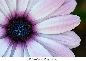 close up gerbera flower in garden