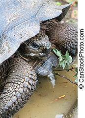 Close up Giant Galapagos Tortoise - Head Shot; on Santa Cruz Island