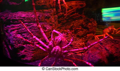 Close-up Giant Spider crab with long legs, bottom view.
