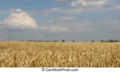 close up golden wheat field in the wind
