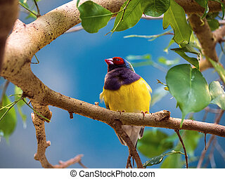 Close up Gouldian finch, Erythrura gouldiae, red black face,...