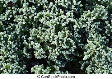 close up green Creeping Juniper background