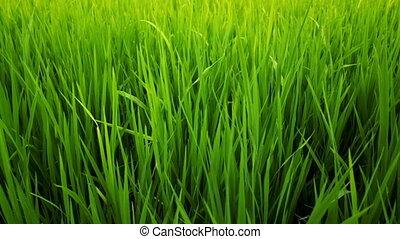 paddy field - close up green grass paddy field background