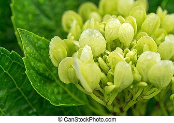 Close-up green Hydrangea flower in a garden