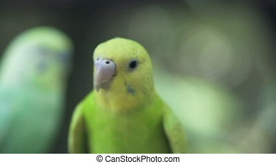 Close up green parrot sitting on branch in wild nature. Green wavy parrot bird looking into camera outdoor.