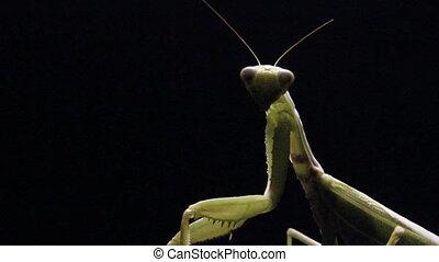 close-up green praying mantis (mantis religiosa) in the dark