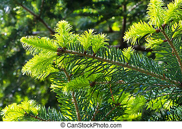 Close-up green prickly branches of fir-tree or pine