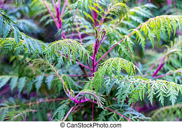 Close up green Sumac tree or Rhus typhina